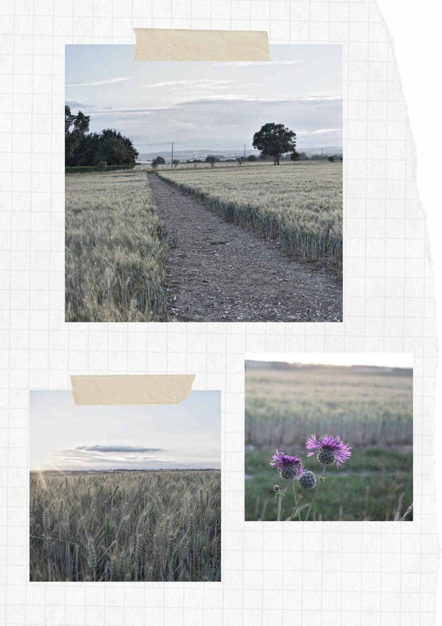 Scrapbook of wheat fields in summer