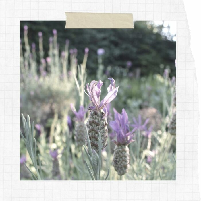 Slow Scrapbook: Lavender in Bloom