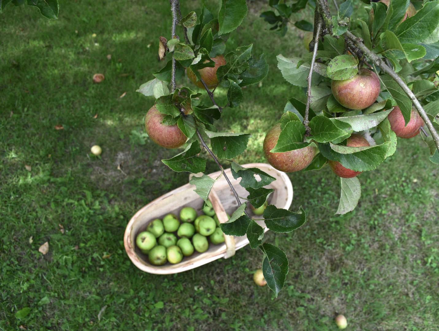 Trug of autumn apples