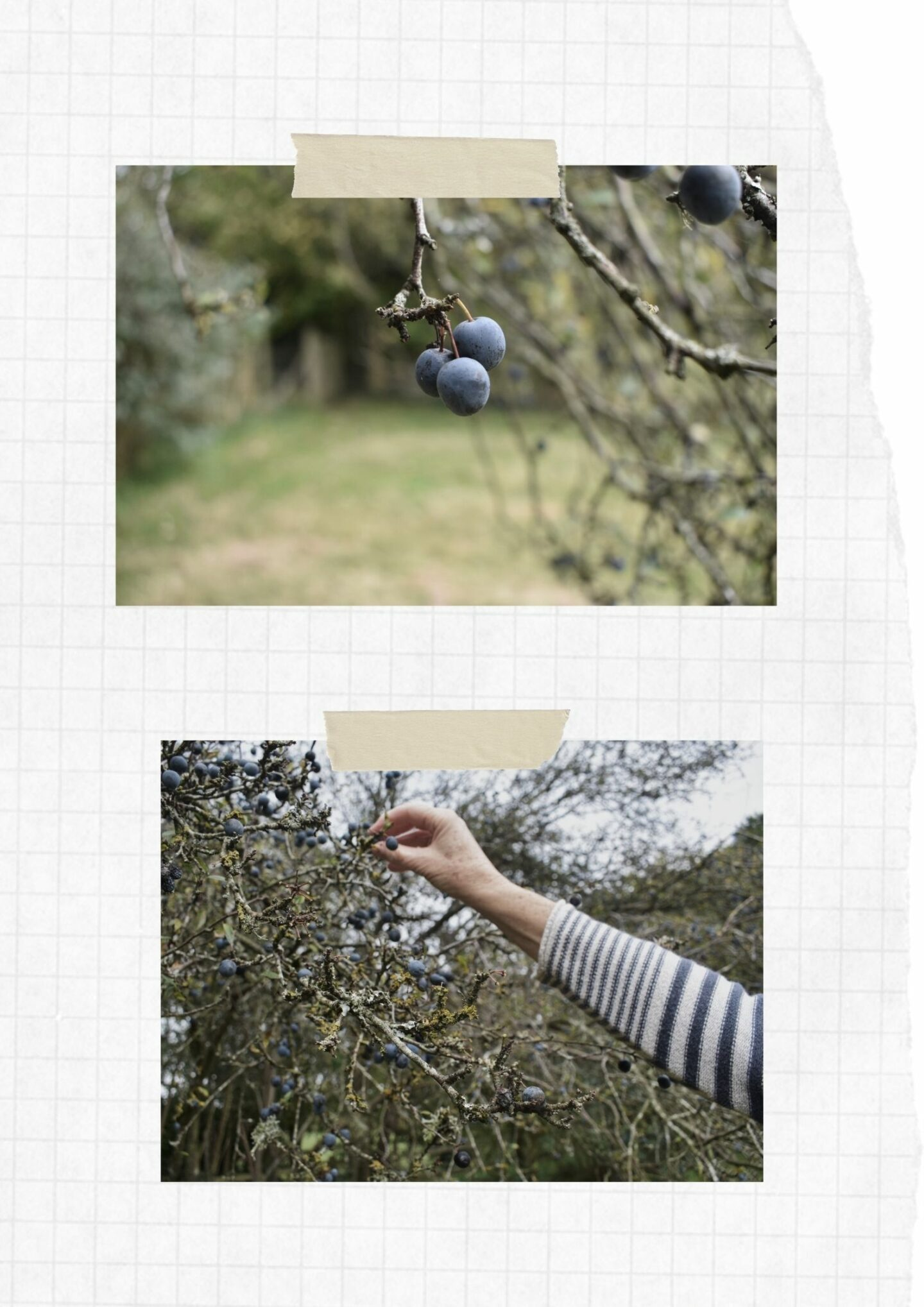 Harvesting sloes