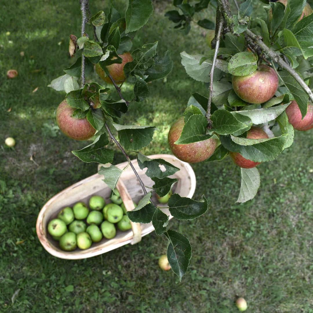 Apple picking trug